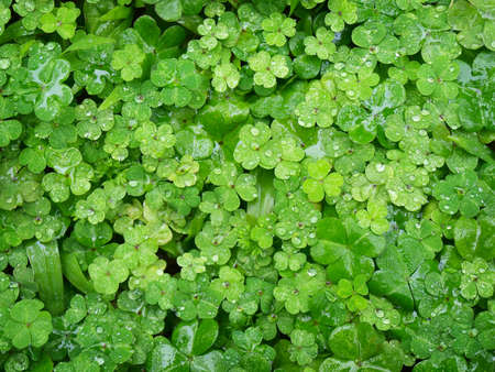 Cluster of green clover after a rain
