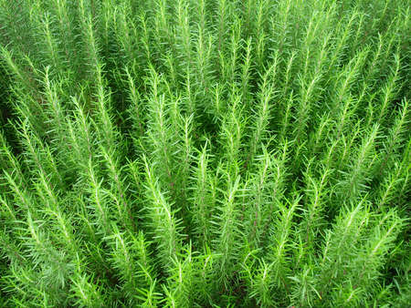 Look down the fresh rosemary herb in garden