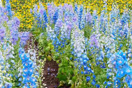 Lots of Hybrid Delphinium flowers