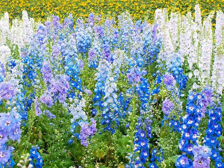 Lots of Hybrid Delphinium flowers