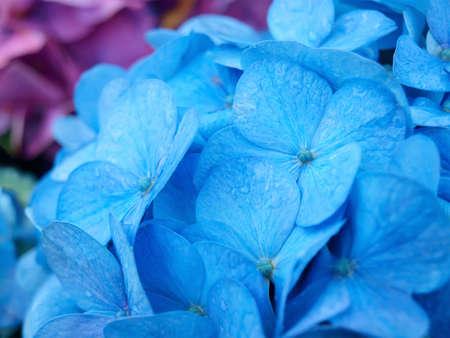 Blue hydrangea in rainy day, closeup  Stock Photo