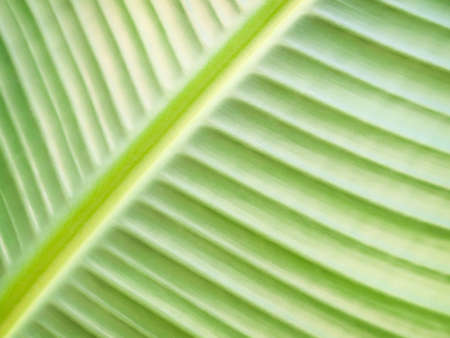 Green leaf of banana tree, close up  Stock Photo - 16885063