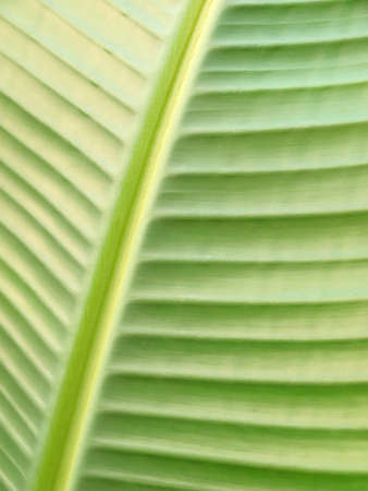 Green leaf of banana tree, close up