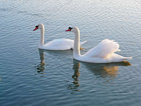 The swans floating on lake   photo