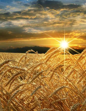 grain fields: Ears of golden wheat against the evening sky