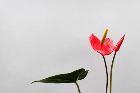 Two red flowers. Anthurium flower in blossom. Copy space.