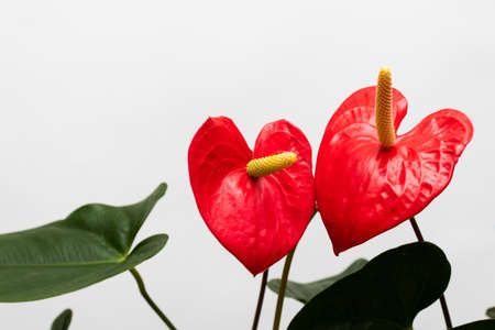 Couple of red flowers in a shape of hearts.