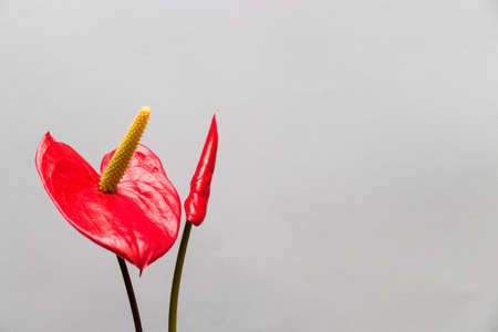 Two red flowers anthurium in blossom. Copy space.