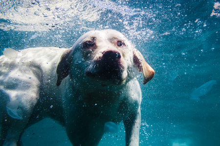 Playful labrador puppy in swimming sea has fun - dog jump and dive underwater to retrieve shell. Training and active games with family pets.