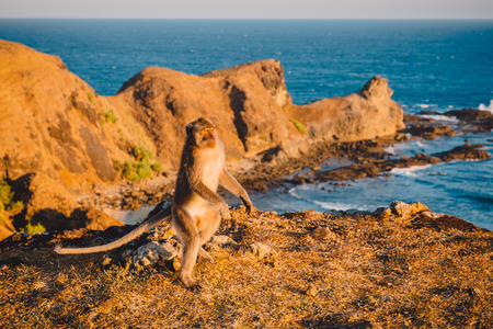 Balinese monkeys and ocean is background. Tropical animals in Lombok