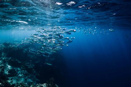 Vida silvestre bajo el agua con peces de atún de escuela en el océano en el arrecife de coral