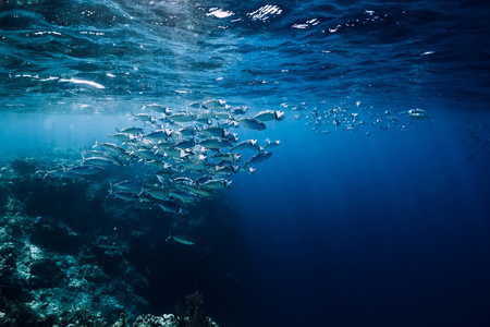 Wildlife in underwater with school tuna fish in ocean at coral reef