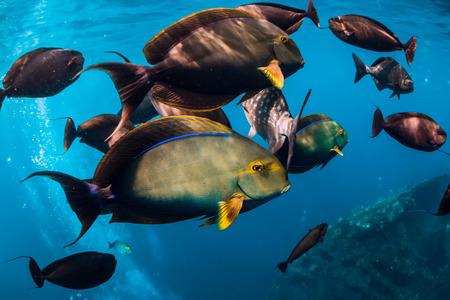 Mundo salvaje submarino con banco de peces en el océano azul Foto de archivo