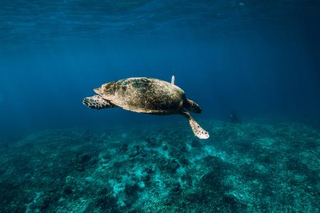 Underwater wildlife with animals. Sea turtle floating in blue ocean. Green sea turtle closeup