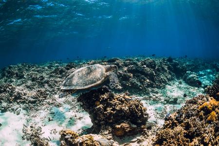Sea turtle floating over corals in underwater ocean. 스톡 콘텐츠