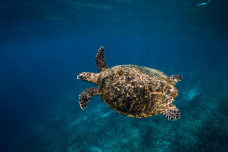 Sea turtle swim in blue ocean. Green sea turtle underwater Imagens
