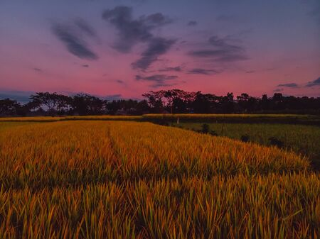 Rice plantation in tropical Bali with sunrise colors 版權商用圖片