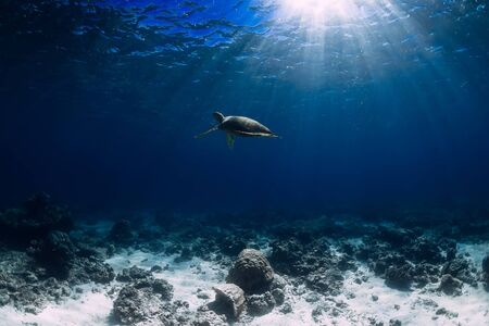 Turtle glides in blue ocean. Green sea turtle underwater