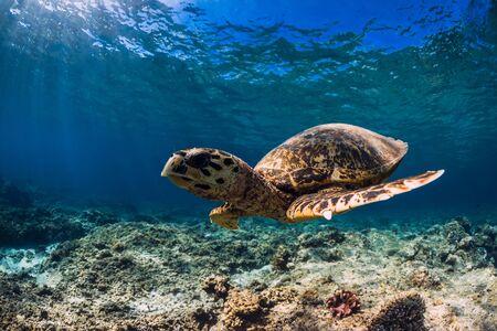 Grande tartaruga sul fondo di corallo nell'oceano blu. Animale marino