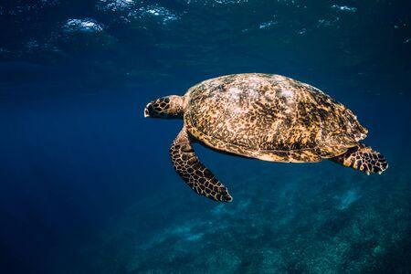 Sea turtle glides in blue ocean. Green sea turtle underwater