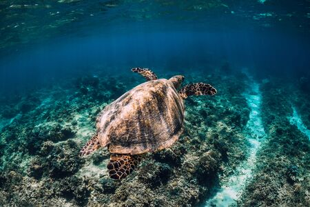 Sea turtle glides n ocean. Underwater shot with turtle Imagens