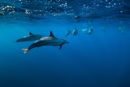 Spinner dolphins underwater in Indian ocean, Mauritius