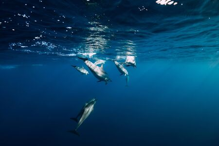 Spinner dolphins underwater in blue ocean