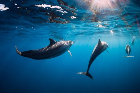Spinner dolphins underwater in blue ocean with morning light