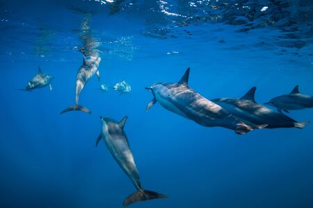 Spinner dolphins underwater in Indian ocean at Mauritius island