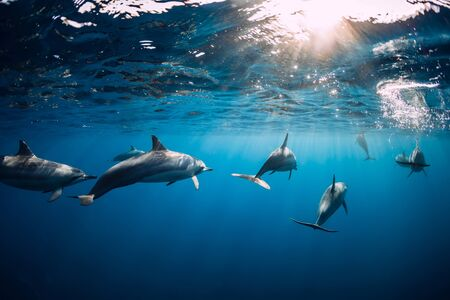 Dolphins swimming underwater in ocean. Mauritius Stok Fotoğraf