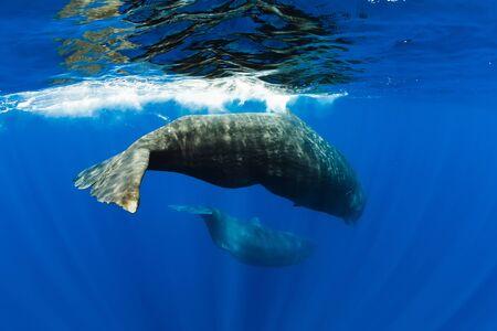 Amazing Sperm whales swimming in ocean near Mauritius island.