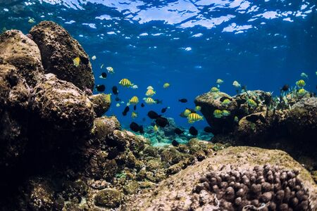 Underwater scene with stones and tropical fish. Blue ocean