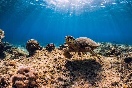 Sea turtle glides in ocean. Underwater view with turtle