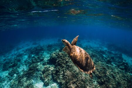 Green sea turtle swimming above a coral reef, closeup view