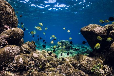 Underwater scene with stones, corals and tropical fish. Blue ocean