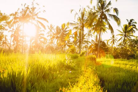 Rise fields and coconut palms at sunrise or sunset in Bali