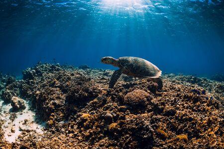 Sea turtle glides in blue ocean. Turtle swim underwater Standard-Bild