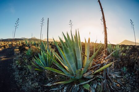 Volcanic landscape with agave plants and sunset tones in Lanzarote, Spain.