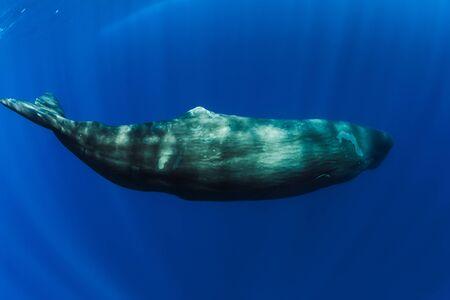 Sperm whales swimming underwater in blue ocean near Mauritius.