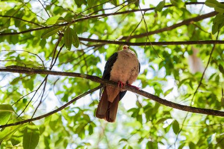 Rare pink pigeon on a tree in a national park. Bird of Mauritius island
