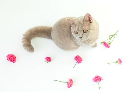 Roses flowers with cute scottish cat on white. Scottish cat and flowers Stock Photo
