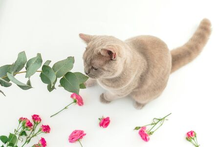 Cute scottish cat and eucaliptus on white. Scottish cat and flowers