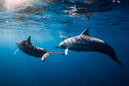 Family of Spinner dolphins in tropical blue ocean with sunlight. Dolphins in underwater