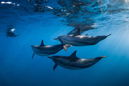 Family of Spinner dolphins in tropical ocean with sunlight. Dolphins swimming in underwater