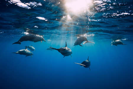 Dolphins underwater in blue tropical ocean. Dolphins family