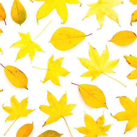 Autumnal pattern with fall yellow leaves isolated on white background. Flat lay, top view