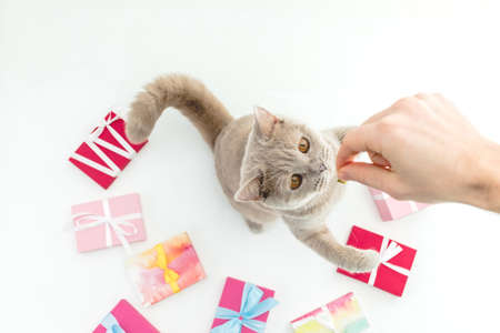 Scottish kitten with present gifts and woman hand on white background. Flat lay, Top view Standard-Bild