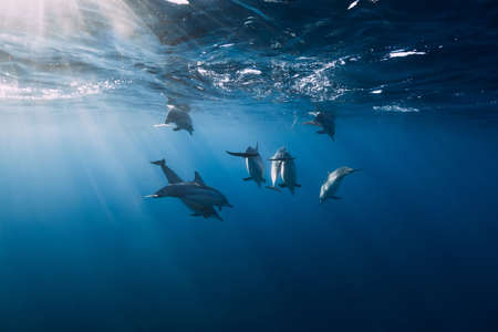 Spinner dolphins in tropical ocean with sunlight. Dolphins family in underwater