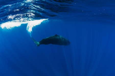 Sperm whales in blue ocean at Mauritius island.