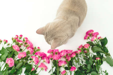 Roses flowers with gray scottish cat on white. Scottish cat and flowers